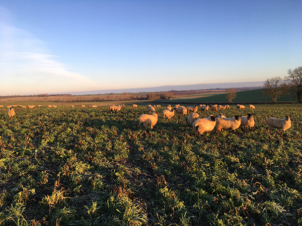 livestock on bottom farm sheep