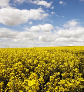 british rapeseed oil in field