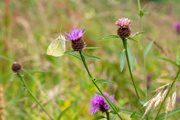 common knapweed with butterfly
