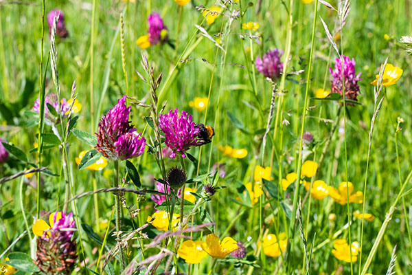 red clover with bee