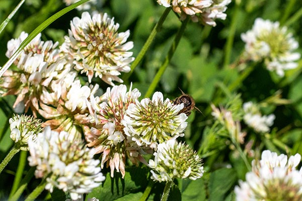 white clover with bee